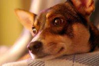 Pies na kolanach właściciela