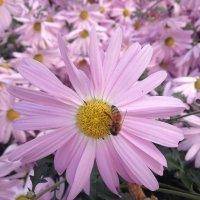 fioletowa chryzantema